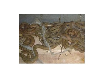 幼蛇的饲养技术
