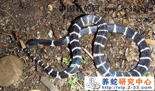 银环蛇咬伤 被银环蛇咬伤伤口图片 被银环蛇咬了伤口图片