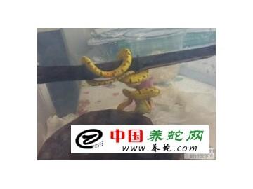幼蛇开食(开口)的方法