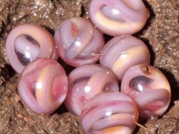 幼蛇的胚胎病