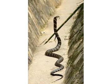 蛇的嗅觉灵敏