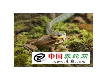 蛇的捕食和吞食方式