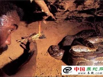 野外捕蛇-引诱出洞的方法