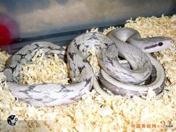 经济蛇类-黑眉锦蛇
