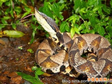 经济蛇类-尖吻蝮(五步蛇)