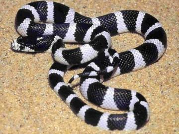 经济蛇类-银环蛇