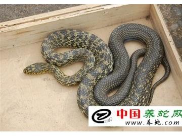 大王蛇的养殖方法