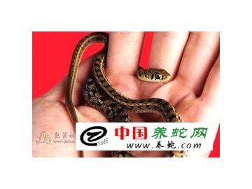 幼蛇如何区分公母