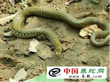 蝰蛇蛟伤的鉴别