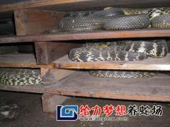 給力夢想大王(wang)蛇(she)養殖 (63)