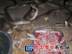 给力梦想水律蛇养殖 (57)