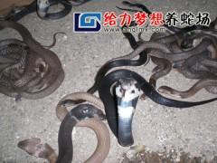 眼镜蛇幼蛇 (410播放)