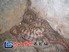 两月龄大王蛇幼蛇 (13)