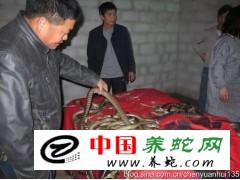 大量收购水律蛇商品蛇