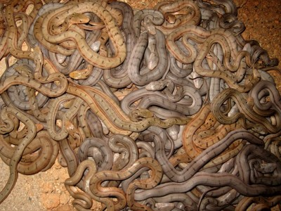 大王蛇幼蛇养殖