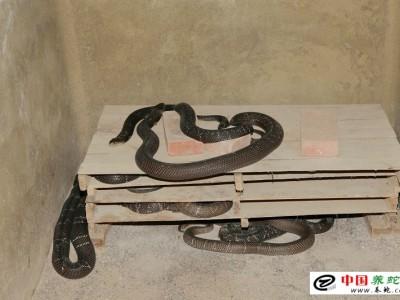 眼镜蛇幼蛇人工养殖技术