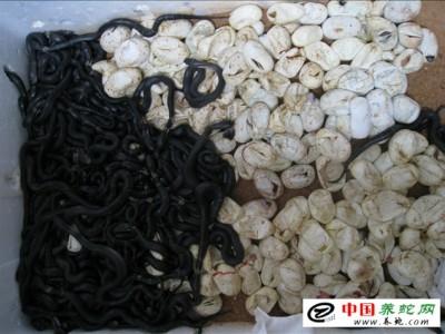 眼镜蛇苗养殖技术