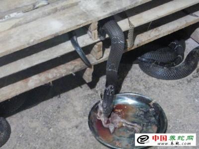 重庆眼镜蛇养殖基地