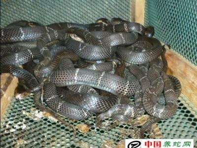 眼镜蛇养殖业