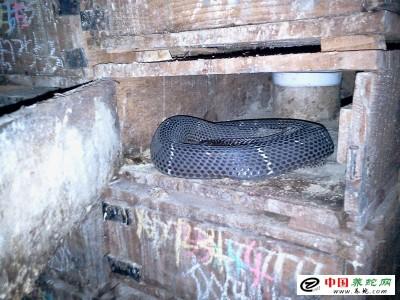 致富经养殖眼镜蛇