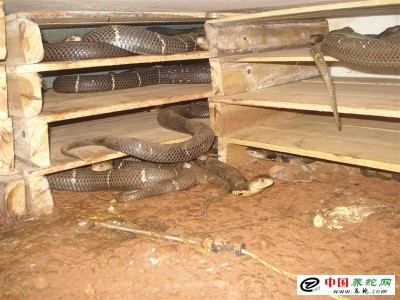 广西养殖眼镜蛇