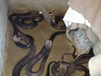 养殖眼镜蛇