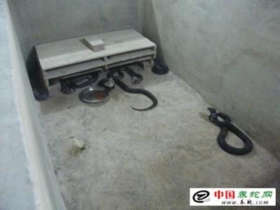 怎么养殖眼镜蛇