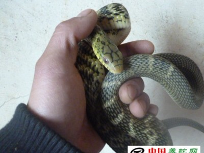 大王(wang)蛇(she)人工養殖