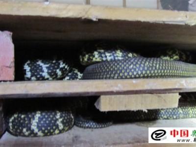 廣西大王(wang)蛇(she)養殖的三忌
