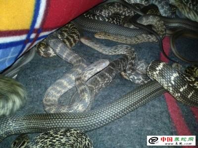 人工养殖大王蛇