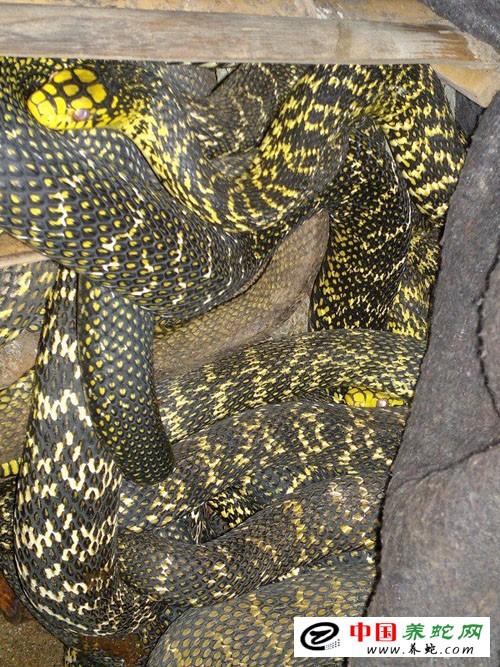 富得多,加之幼蛇冬眠也比北方晚得多,故比较适宜散养或半散养.