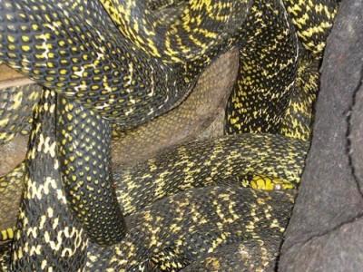 大王蛇的养殖技术