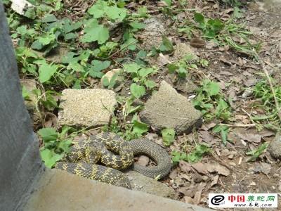 大王蛇养殖投资多少钱?