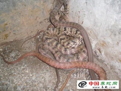 新蔡(cai)縣養殖大王(wang)蛇(she)