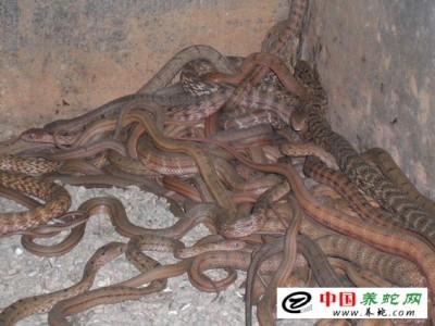 大王蛇人工养殖新蔡
