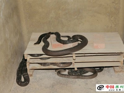 如何养殖水律蛇
