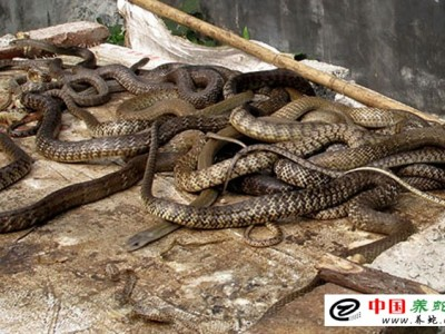 广西水律蛇养殖场