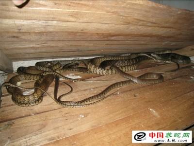 广西水律蛇养殖