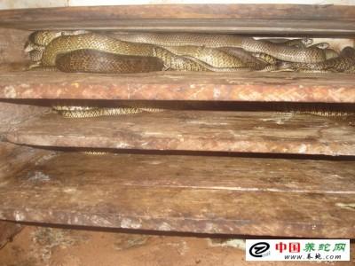 广西水律蛇养殖技术