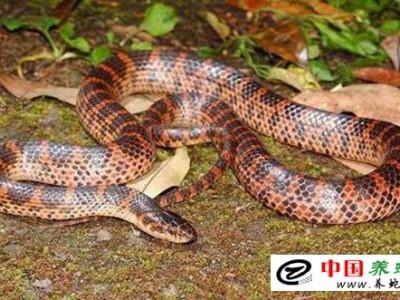 养殖赤练蛇