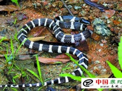 养殖银环蛇