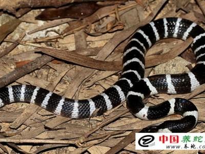室外养殖银环蛇