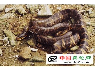 棕黑锦蛇养殖技术