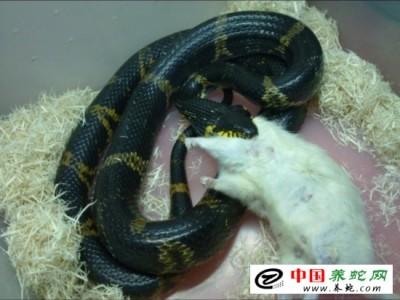 人工养殖棕黑锦蛇