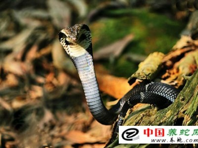 广西眼镜王蛇养殖