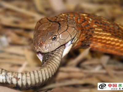 如何养殖眼镜王蛇