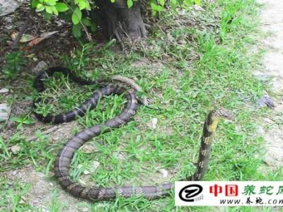 养殖眼镜王蛇