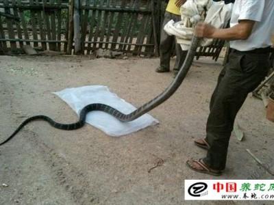 养殖眼镜王蛇技术