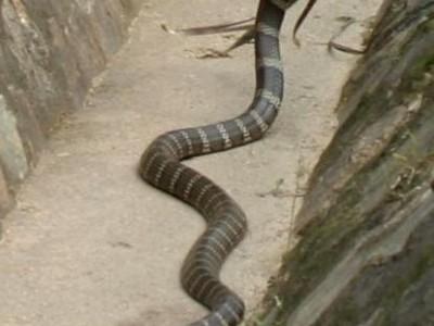 眼镜王蛇蛇养殖技术