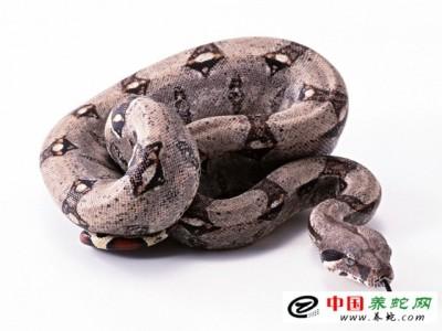 蟒蛇养殖技术